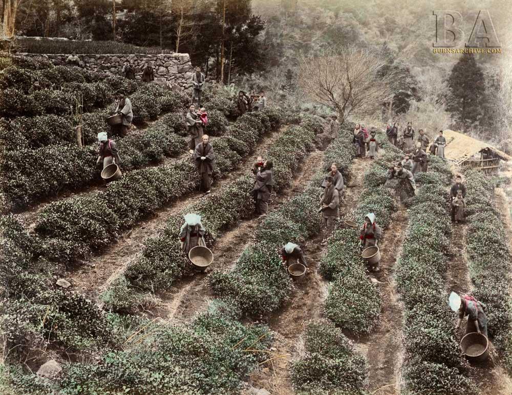 5-BA-TeaPlantation